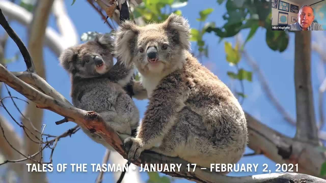 """""""Tales of the Tasman, January 17 - February 2, 2021""""  with koala mom and baby on a tree, sceenshot from a zoom meeting"""